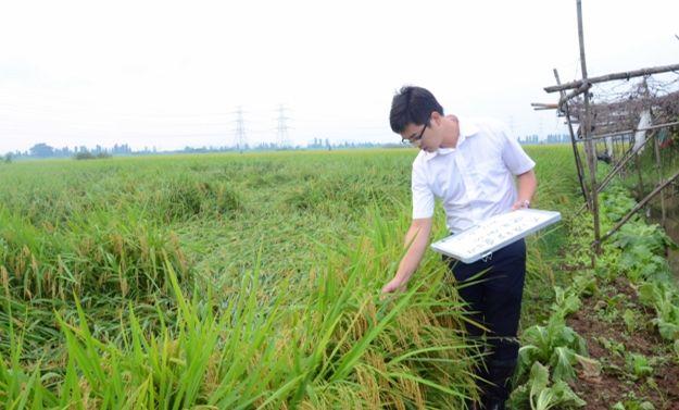 """【大涌】""""海马""""过后,水稻保险理赔忙"""