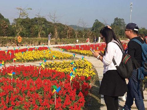 中山又添一处春节赏花目的地——詹园·天宇凤凰花海开园