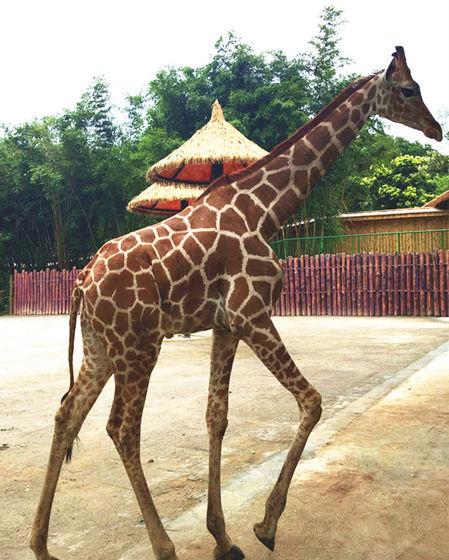 不是谣言!一只活生生的长颈鹿在中山紫马岭公园现身,身高足足3米!