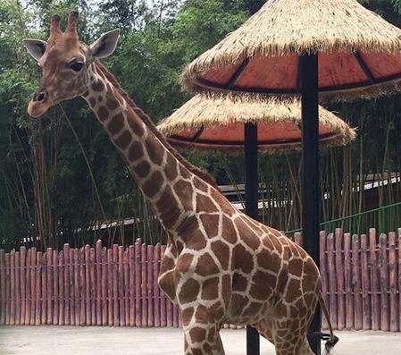 """首只落户中山的动物""""明星""""——长颈鹿在紫马岭动物园安了新"""