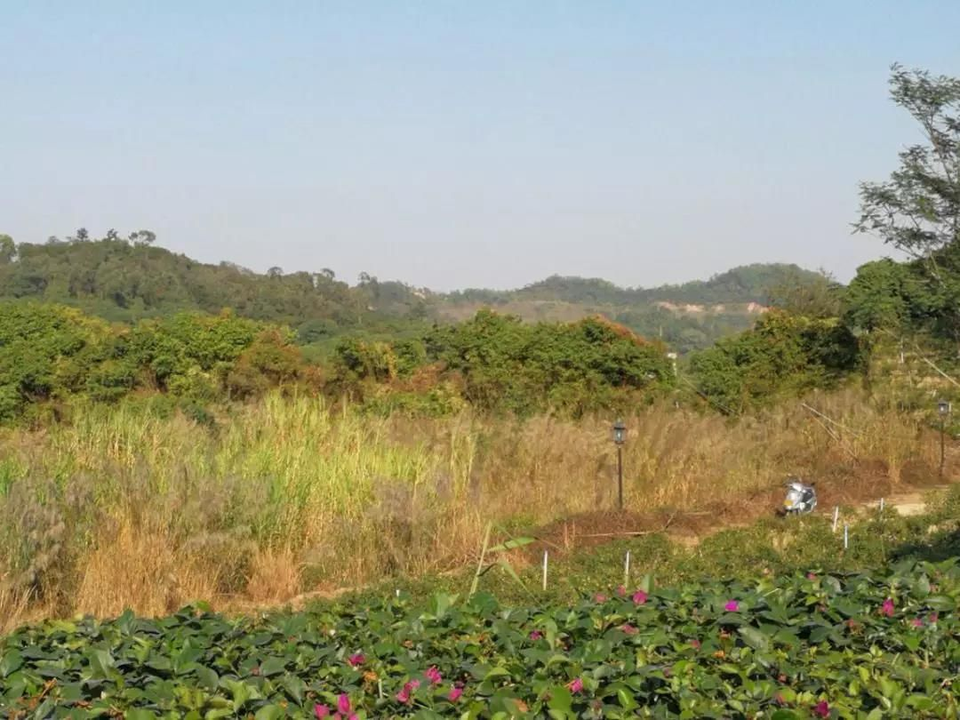 金鐘水庫出現這種植物,市民擔心有危害!真的嗎?