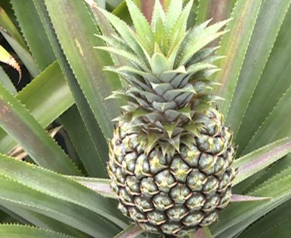 清明时节 神湾每天上万斤菠萝抢闸上市