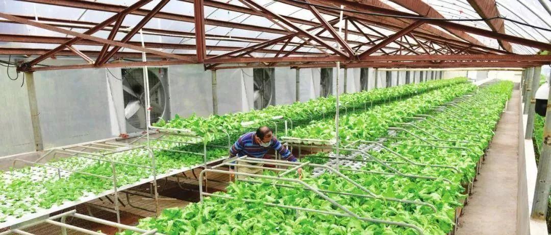 鎮區防控復產   養豬場變身蔬菜大棚,如何做到的?