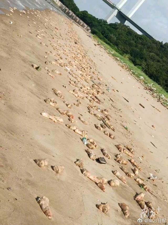 過萬豬蹄現身東莞海灘追蹤:未流入市場,來源仍無法判定