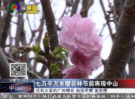 七万平方米樱花林节前将现中山