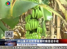 中山蕉农战胜香蕉黄叶病喜迎丰收