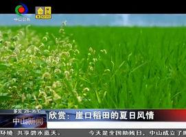 欣赏:崖口稻田的夏日风情