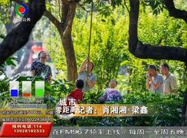 紫马岭公园荔枝成熟,游客不顾危险爬树采摘