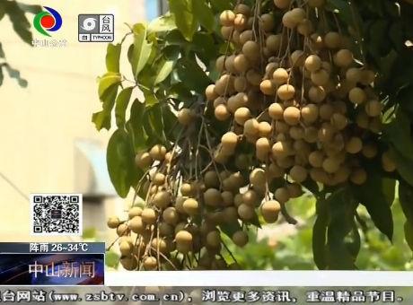 """谁是""""龙眼王""""?东凤西罟步村脆肉石硖龙眼""""打擂台"""""""
