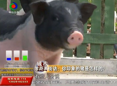 猪年说猪:你印象的猪是怎样的?