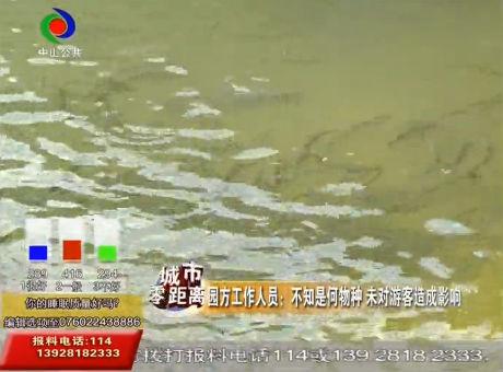 """树木园绿茵湖惊现""""鳄雀鳝"""" 习性凶猛?"""