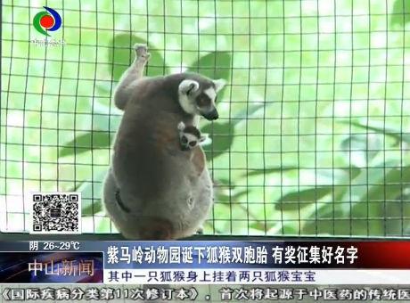 紫马岭动物园诞下狐猴双胞胎  有奖征集好名字