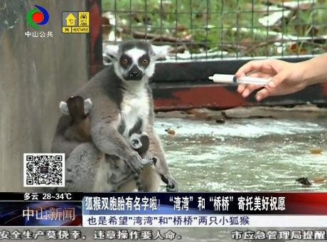 """狐猴雙胞胎有名字啦!""""灣灣""""和""""橋橋""""寄托美好祝愿"""