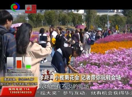 視頻丨小欖菊花進入盛放階段!周末約起來