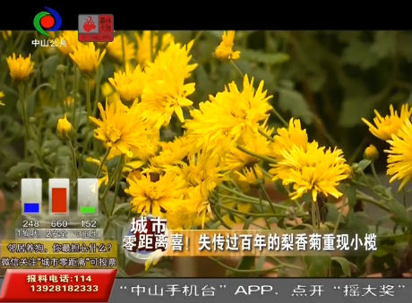 视频丨喜!失传过百年的梨香菊重现小榄