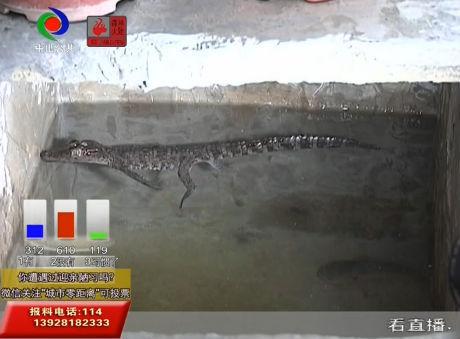 """視頻丨鱷魚藏身水缸邊?突然""""造訪""""市民憂"""