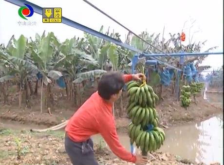 視頻丨中山記憶:香蕉